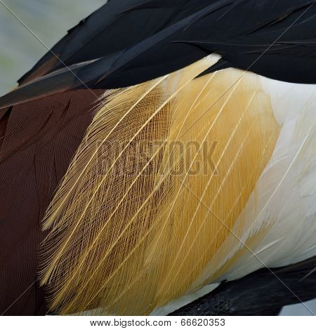 Close Up Of Crown Crane's Multicolor Feathers