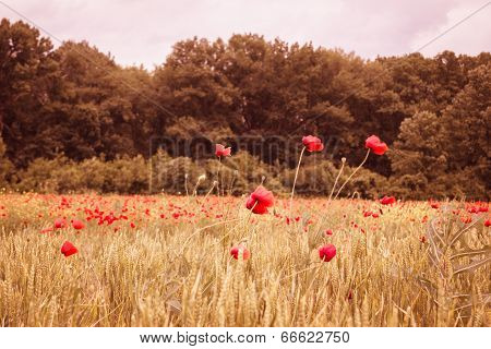 Red Poppy Field With Wheat In Sunset Mist
