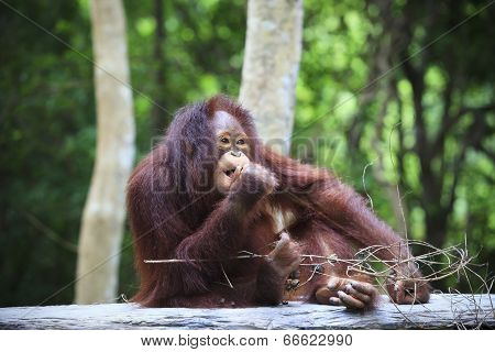 Indonesia Orangutan With Nature Blurry Background Use For Animals Theme Nad Wild Life Topic