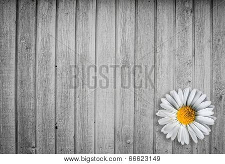 Marguerit Flower