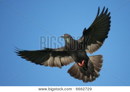 Common pigeon in flight with spread wings.