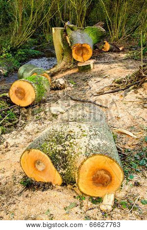 Felled trees/sawn logs in woodland