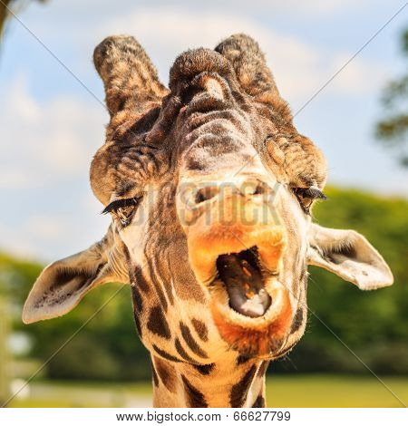 Giraffe (Giraffa camelopardalis) chewing.