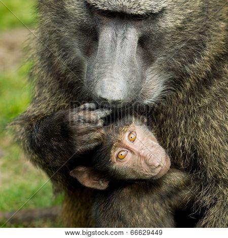 Adult baboon ( Papio hamadryas ) with baby.