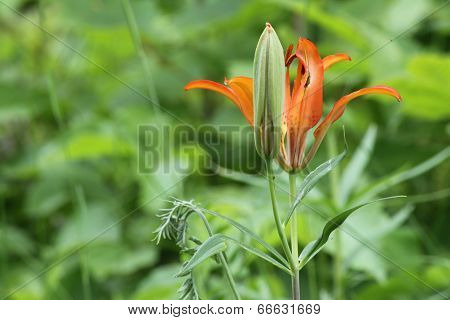 Day Lily (Orange)