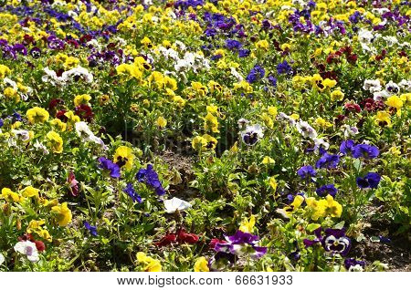 abundance of pansies