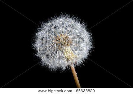 Dandelion Fluffy Black Background