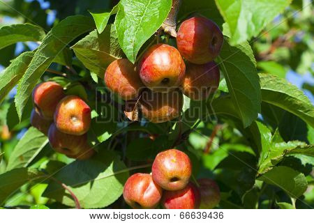 Crab Apples On The Tree