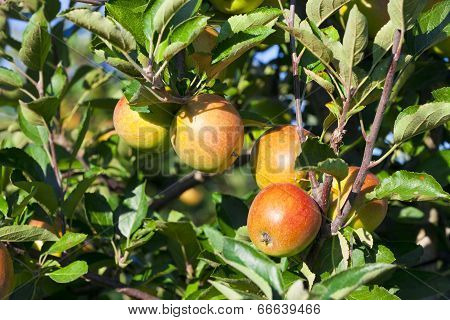 Close-up Of Fresh Crisp Apples