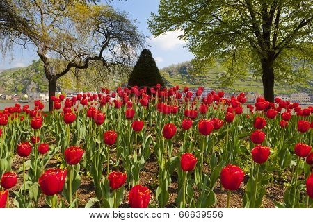 Exceptional View Of A Large Red Tulip Bed