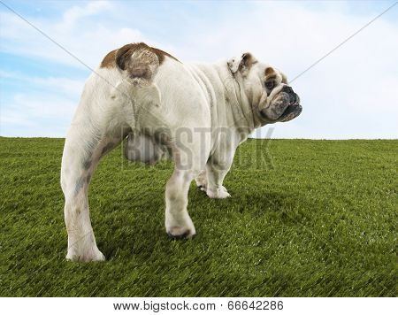 Rear view of a male British bulldog standing on grass against the sky