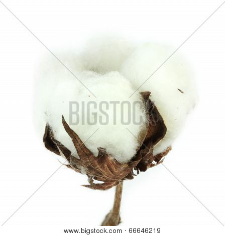 Cotton plant on white background.