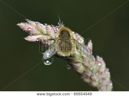 Western Bee-fly