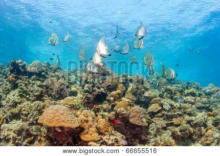Batfish on a coral reef