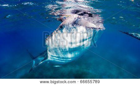 Large Whale Shark Feeding Near The Surface