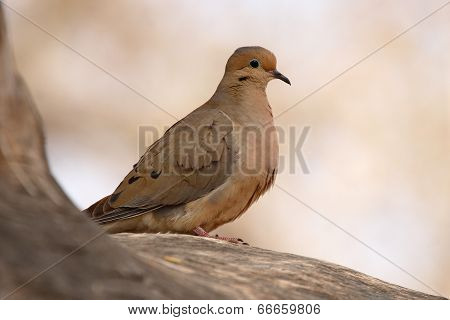 Mourning Dove On Perch