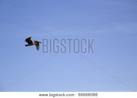 Brown Pelican flying above the Pacific ocean