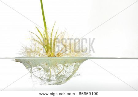 Dandelion Submerged Under Water Upside Down