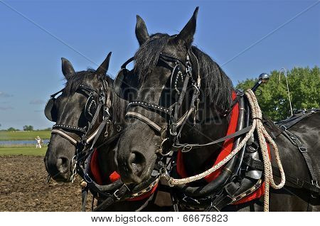 Team of black horses