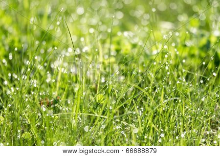 Dewdrops On Blades Of Grass