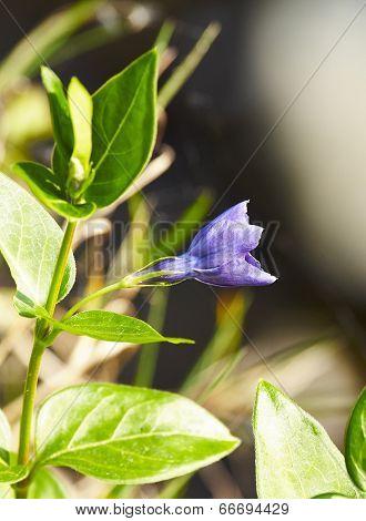 Periwinkle Vinca Blue