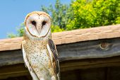 stock photo of banshee  - A close up of a Barn Owl - JPG