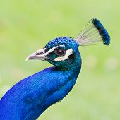 image of indian peafowl  - Portrait of an Indian peafowl  - JPG