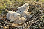 stock photo of long-legged-birds  - Long legged Buzzard young chick in the nest - JPG