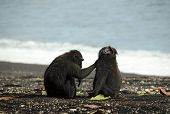 picture of macaque  - Black Macaques aka Celebes Crested Macaques  - JPG