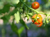 stock photo of tomato plant  - Macro image of water droplets on a Cherry Tomato plant - JPG