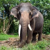 picture of enormous  - Big elephant in the tropical jungle Thailand - JPG