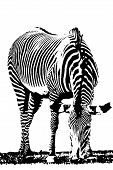 stock photo of nibbling  - Illustration with Zebra - JPG