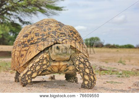 Leopard Skinned Tortoise - African Reptile Background - Walking Home