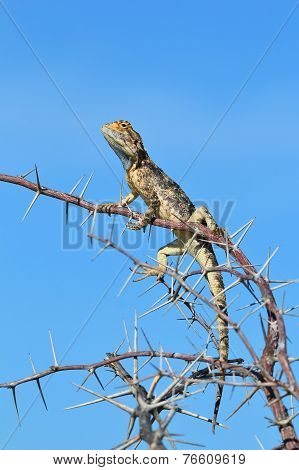 Spiny Agama - African Reptile Background - Sharp Blue Beauty within Nature