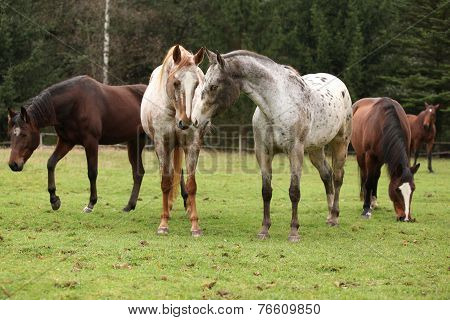 Two Appaloosas Together, With Other Horses In Background