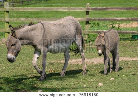Female Donkey With Her Two Month Old Young Baby Donkey Foal Walking Across A Field