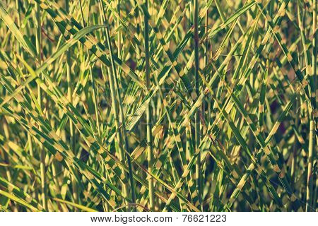 Clump Of High Grass, Natural Background