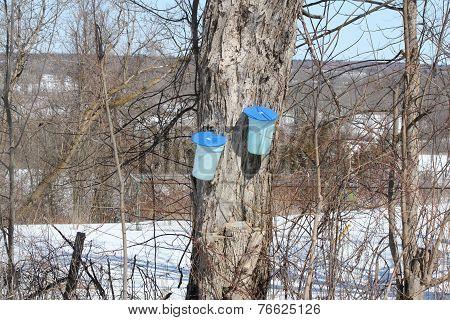 Sap Buckets on Maple Tree