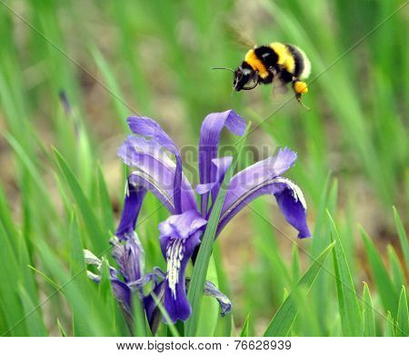 Bumblebee and plant bloomed
