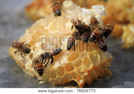 Bees working on honey cells