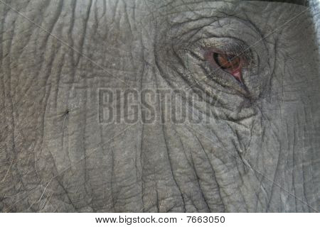 Close-up Of An Elephant Eye