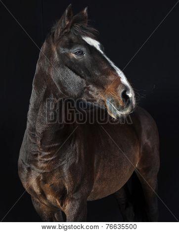 Holsteiner Horse Studio