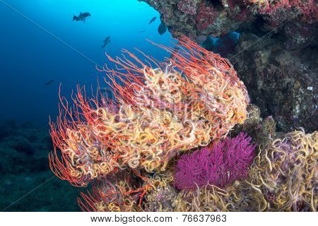 A sea fan is engulfed with small, colorful starfish called brittle stars, which are clinging to the sea fan so they do not get swept away while they feed on plankton.