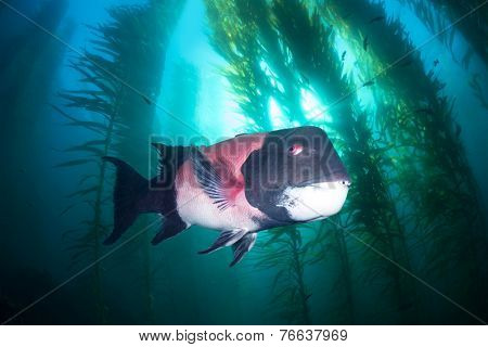 A large male sheephead swims through a beautiful underwater kelp forest in southern California??s Channel Islands