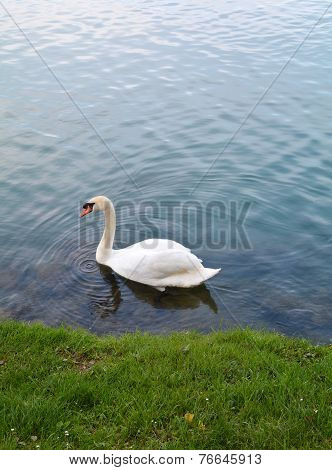 Swan And Water Ripple