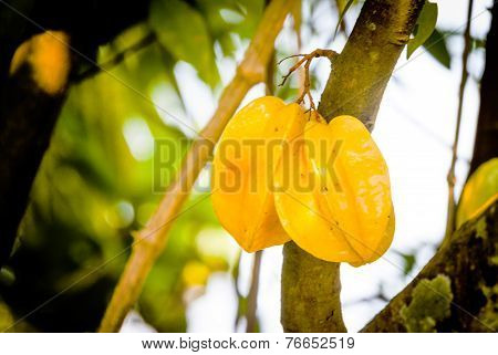 Yellow Star Fruite On Tree
