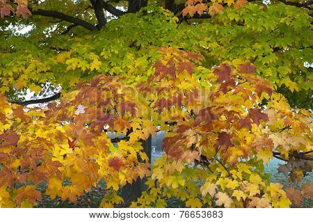 Maple Tree In Autumn Colors.