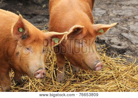 Two Pigs in Hay