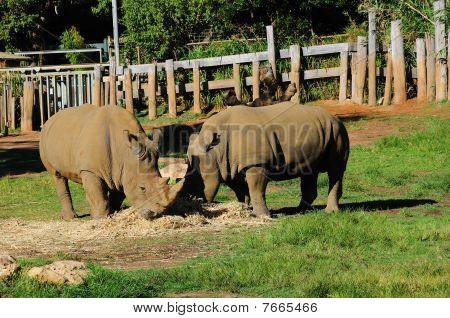 Couple Rhinos