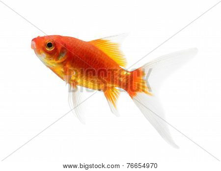 Gold Fish Isolation On The White Background
